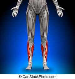 anatomie, veaux, muscles, -, femme