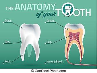 anatomie, vecteur, dent