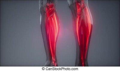 anatomie, visible, jumeau, muscle, carte
