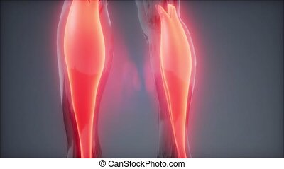 anatomie, visible, muscle, gastrocnemius-, carte