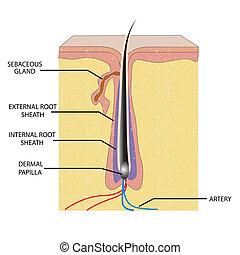 anatomie, vlas