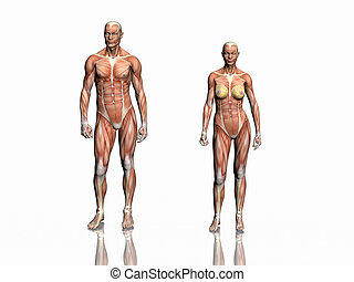 anatomie, woman., homme
