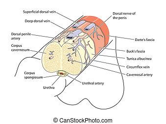 anatomie, zizi