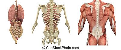 anatomisch, overlays, von, der, oberkörper, -, rückseite