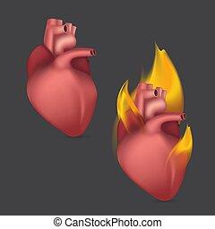 anatomisch, realistisch, abbildung, blut, zirkulation, brennender, heart., intern, vektor, menschliche , flame., organ, system