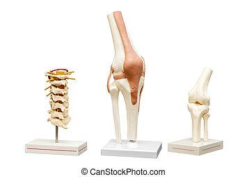anatomische modellen, van, de, joints., isoleren, op wit,...