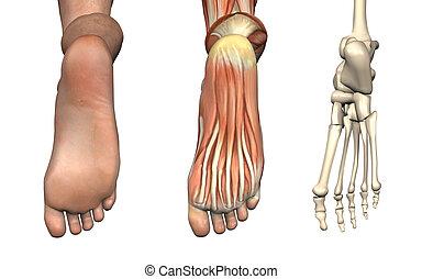 anatomisk, overlays, -, fot