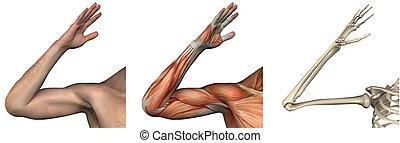 anatomisk, overlays, -, rättighet, arm