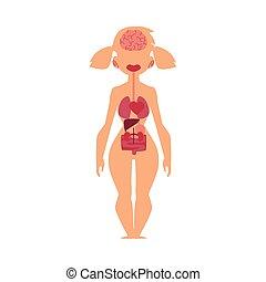 Anatomy chart, human internal organs, female body