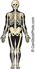 anatomy., esqueleto, humano
