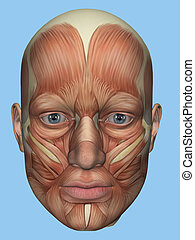 Anatomy front view of face muscles