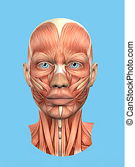 Anatomy front view of major face muscles