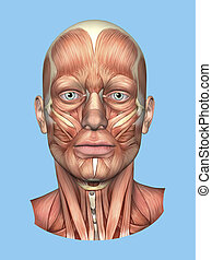 Anatomy Front View of the Major Face Muscles -Male