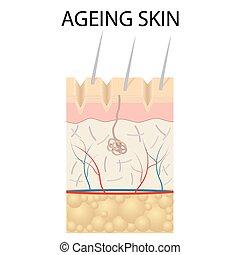 anatomy., gammal, skinn