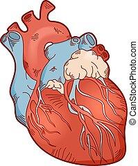 Anatomy human heart