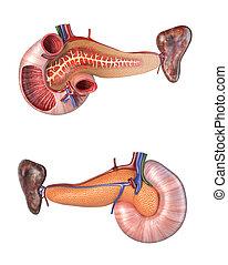 Anatomy human pancreas and duodenum cross section.