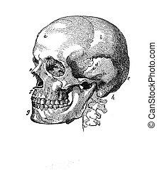 Anatomy, human skull vintage engraving