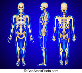 3d rendered anatomy illustration of a human skeleton