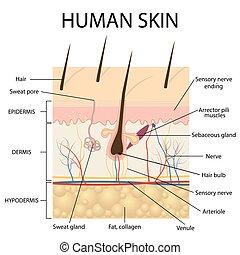 anatomy., illustration, peau humaine