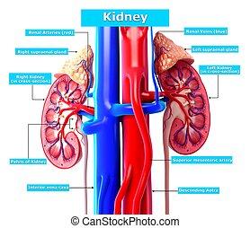 Anatomy kidney cross section - 3d rendered illustration of ...