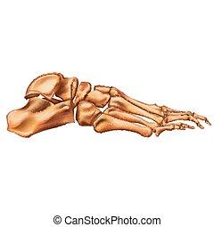 anatomy., lateral, isolerat, illustration, bakgrund., vektor...