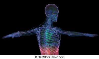 anatomy., ludzki, rentgenowski, szkielet