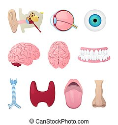 Anatomy Medical Poster with Head Organs Eye, Brain, Nose and...