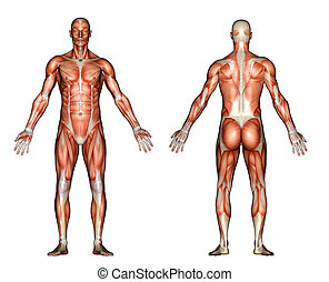 Anatomy Muscles - A 3d rendered illustration of the front ...