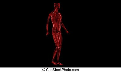 anatomy:, muscules