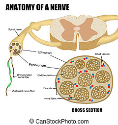 Anatomy of a nerve (for basic medical education, for clinics...