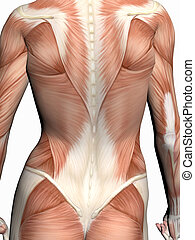 Anatomy of a woman. - Anatomically correct medical model of ...