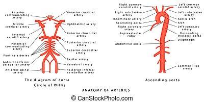 Anatomy of arteries. The diagram of aorta. Internal carotid...