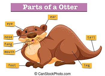 Anatomy of cute otter