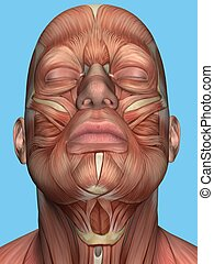 Anatomy of face and neck muscles