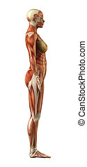 Anatomy of female muscular system - Body without skin...