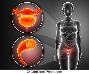 Anatomy of female RENAL system