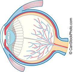 Anatomy of Human Eye