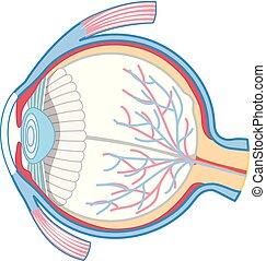 Anatomy of Human Eye illustration