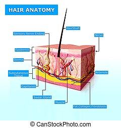 Anatomy of human hair follicles