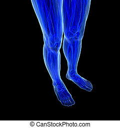 Anatomy of human Legs