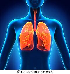 Anatomy of Human Respiratory System - Female Anatomy of...