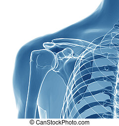 anatomy of human shoulder joint