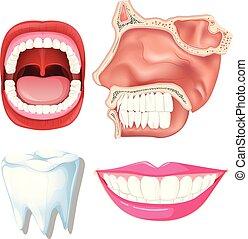 Anatomy of Human Teeth