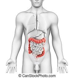 3d rendered illustration of large intestine anatomy