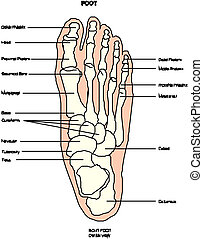 Anatomy of leg and foot human