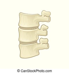 Anatomy of lumbar spine. Part of human backbone. Vertebral...