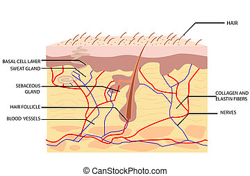 Anatomy of Skin - illustration of anatomy of skin with label...