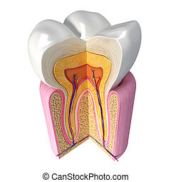 Anatomy of Teeth with cut section
