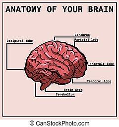 Anatomy of the brain, infographics