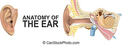 Anatomy of the Ear.